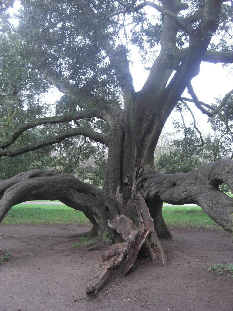 Veteran Holm Oak with large limbs touching the ground with large forked limbs