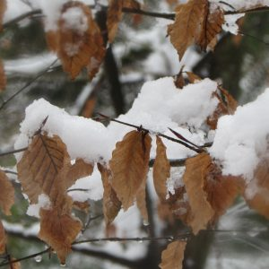 Snow laden Beech tree with golden brown leaves still on the tree